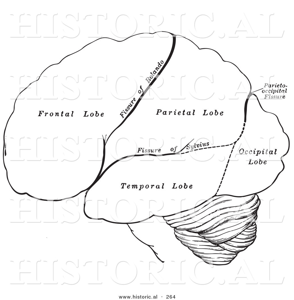 Brain Lobes Coloring Page