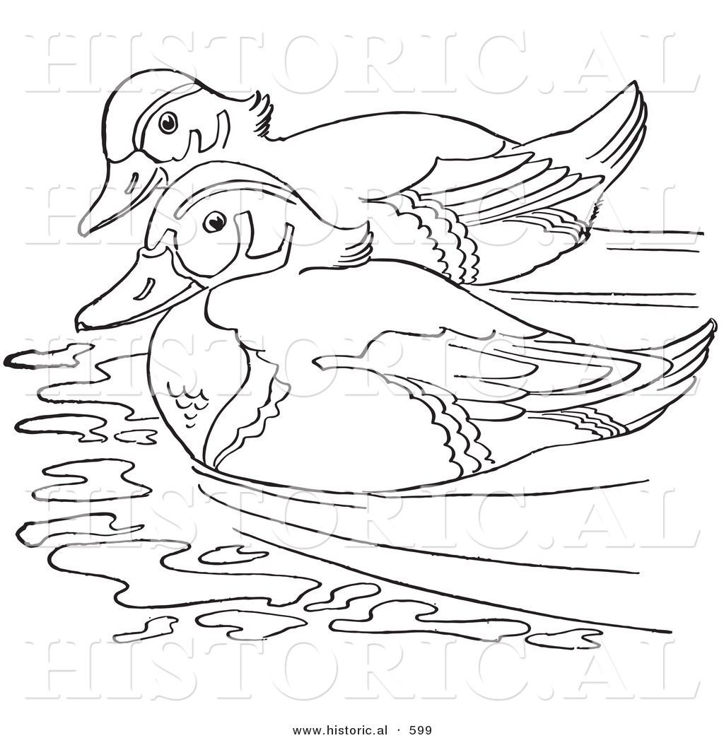 historical vector illustration of 2 wood ducks swimming together