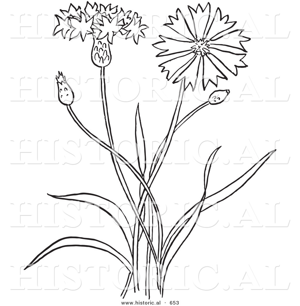 Flower Plant Line Drawing : Historical vector illustration of a bachelors buttons