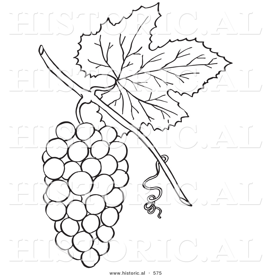 historical vector illustration of a bunch of grapes with a leaf on
