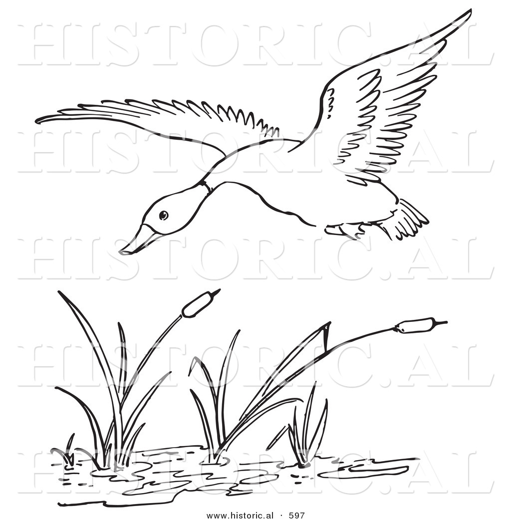 Historical Vector Illustration of a Duck Flying over a Pond ...