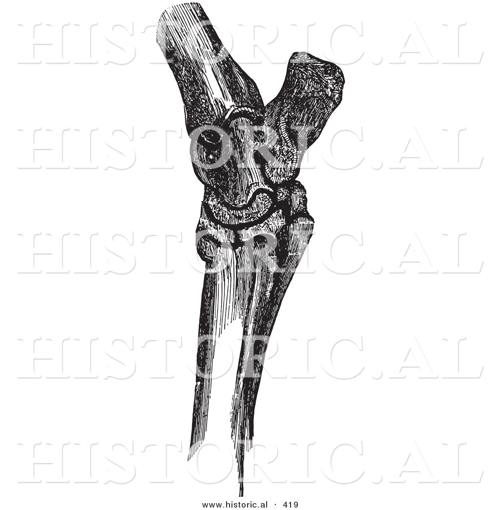Historical Vector Illustration of a Horse\'s Hock Bones - Black and ...