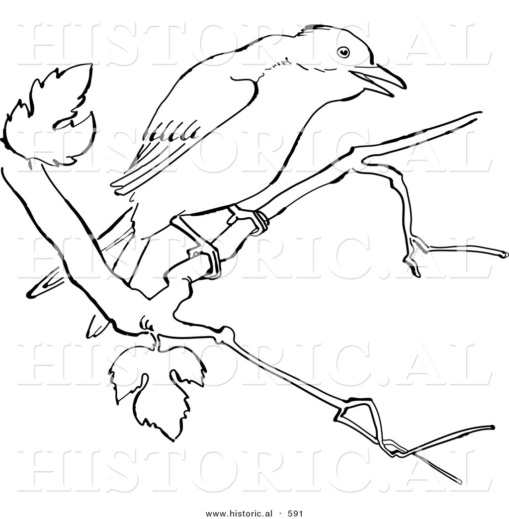 Historical Vector Illustration Of A Mockingbird On Tree Branch