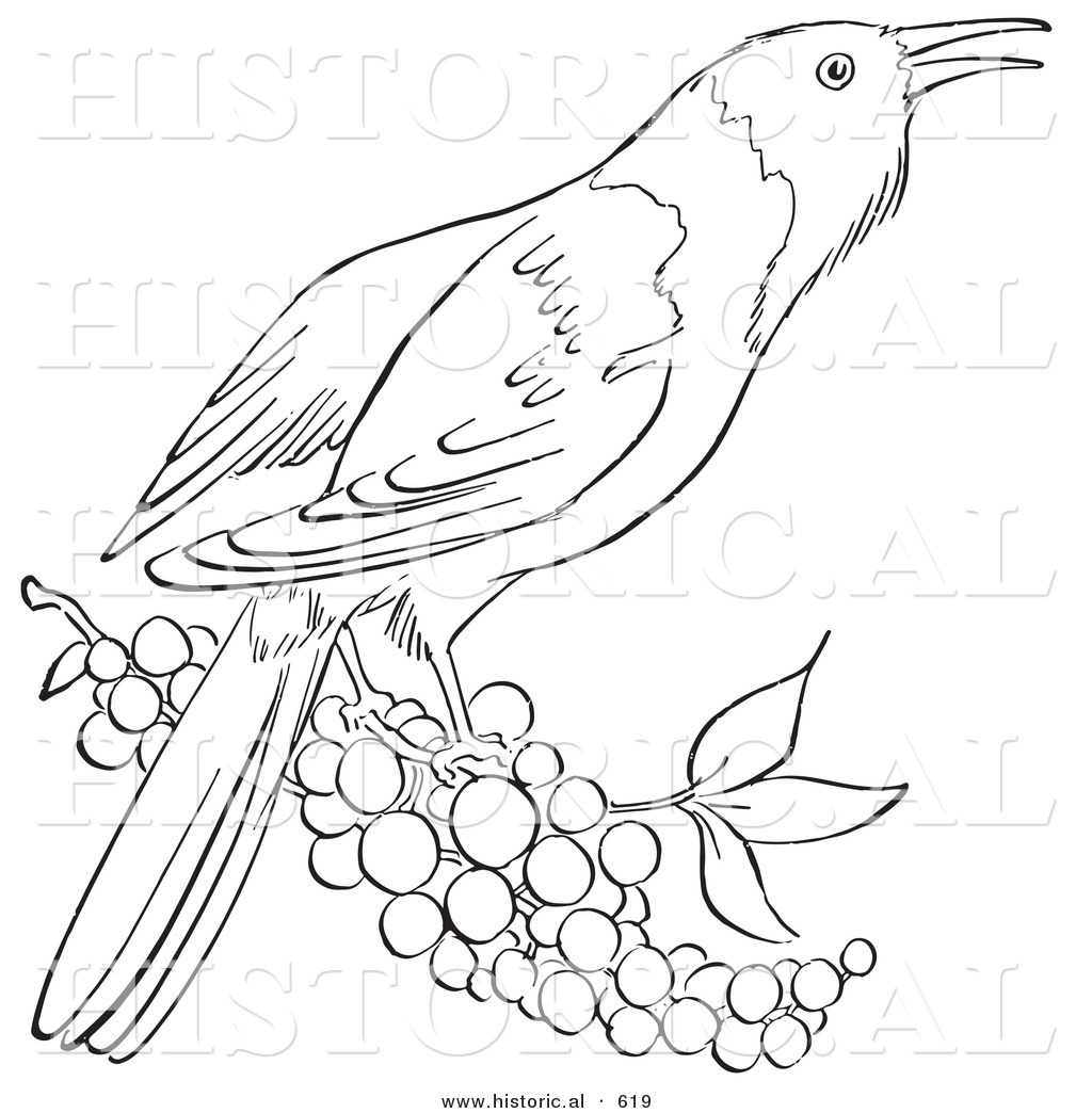 Oriole Free Coloring Pages