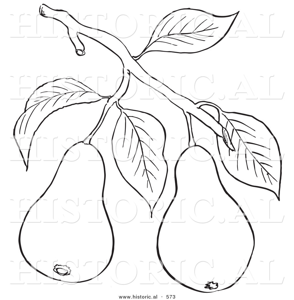Historical Vector Illustration of a Pear Tree Branch with 2 Fruits