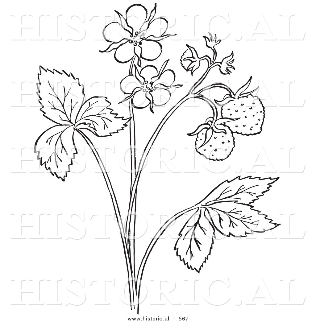 historical vector illustration of a strawberry plant with flower