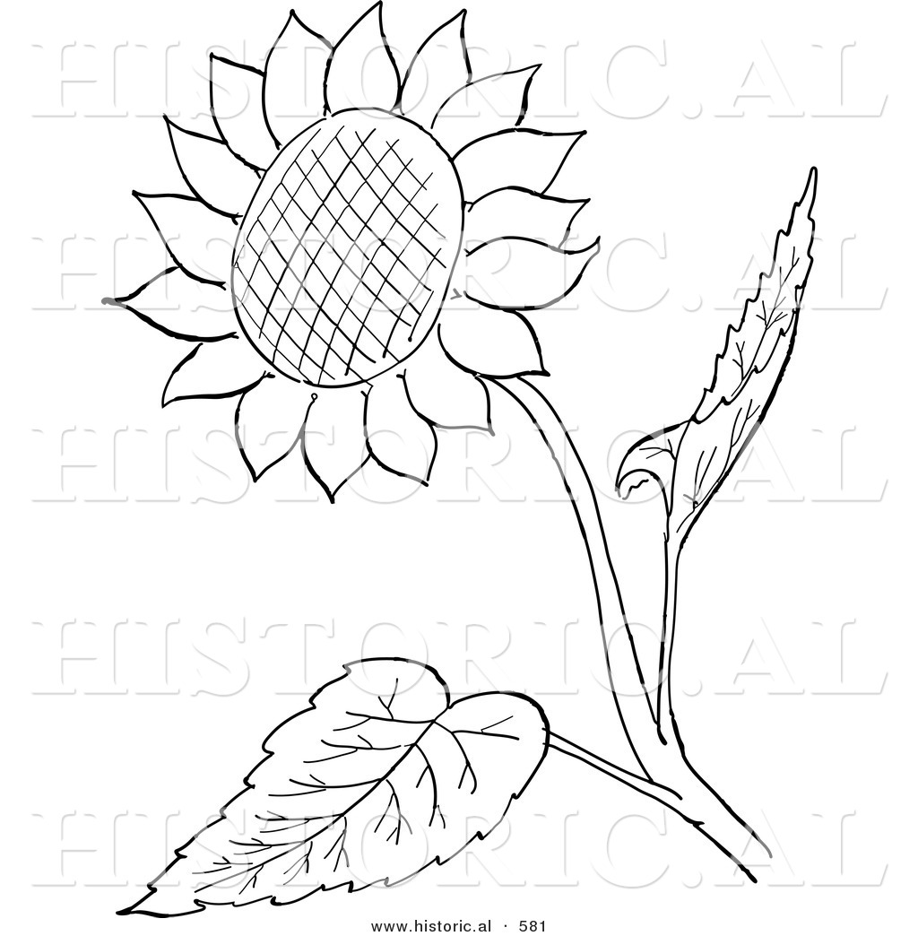 historical vector illustration of a sunflower with seeds and