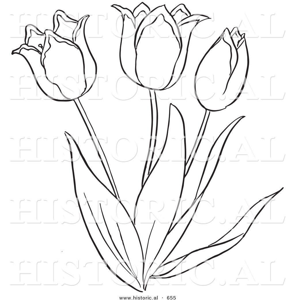 Coloring pages of flower buds - Historical Vector Illustration Of A Tulip Plant Flowering Outlined Version