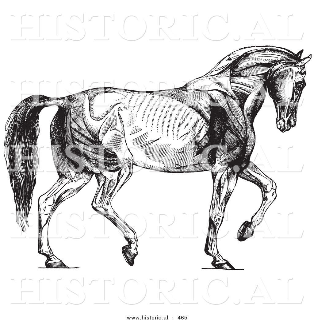 Historical Vector Illustration of a Walking Horse Muscles Diagram ...