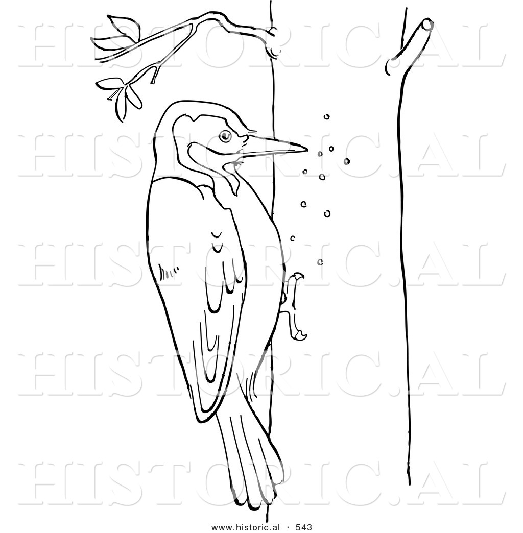 historical vector illustration of a woodpecker pecking holes in a