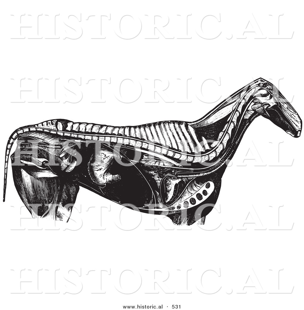 Historical Vector Illustration of an Engraved Horse Anatomy ...