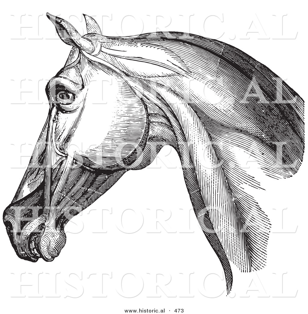 Historical Vector Illustration of an Engraved Horse Head and Neck ...