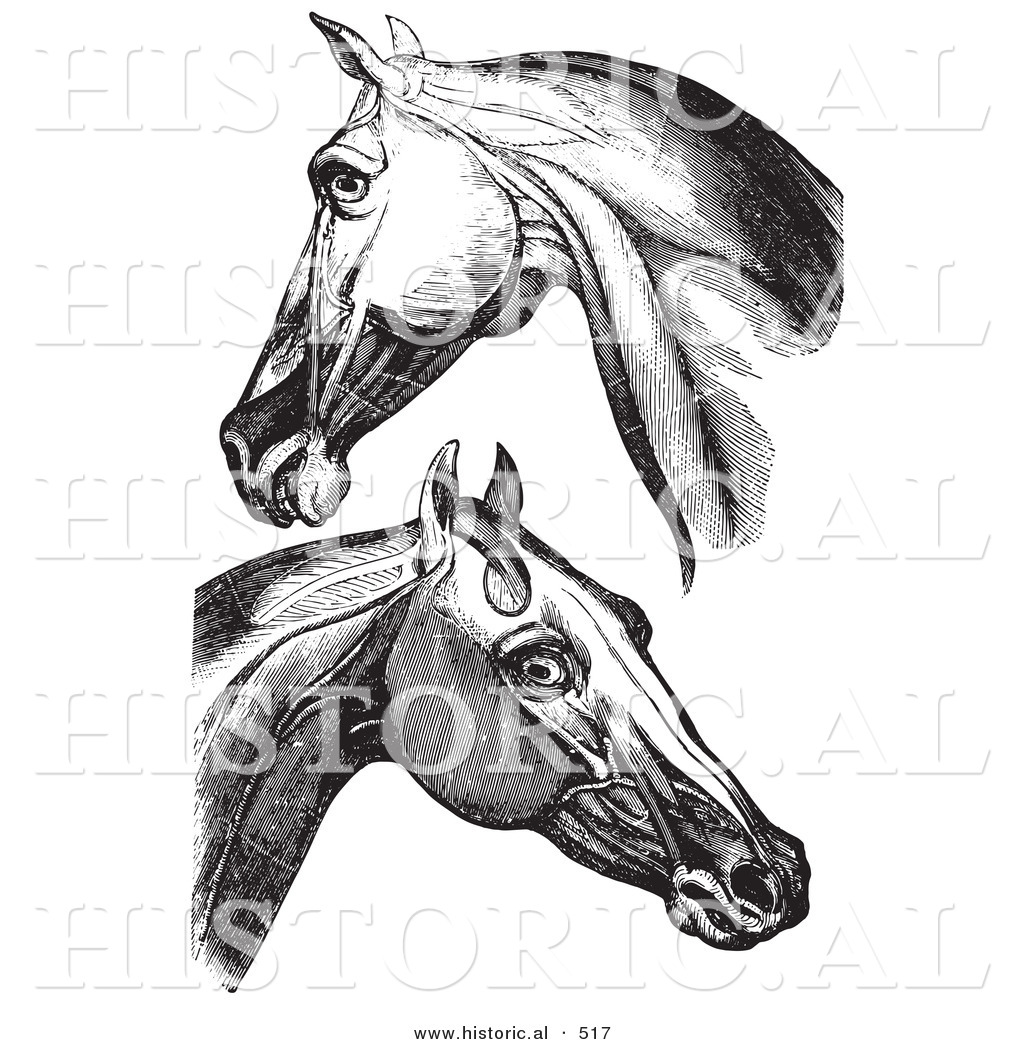 Historical Vector Illustration Of Engravings Featuring Horse Head And Neck Muscles Black And White Version By Picsburg 517