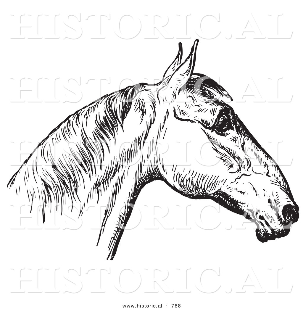 Historical Vector Illustration Of Horse Anatomy Featuring A Bad Head 4 Black And White Version By Picsburg 788