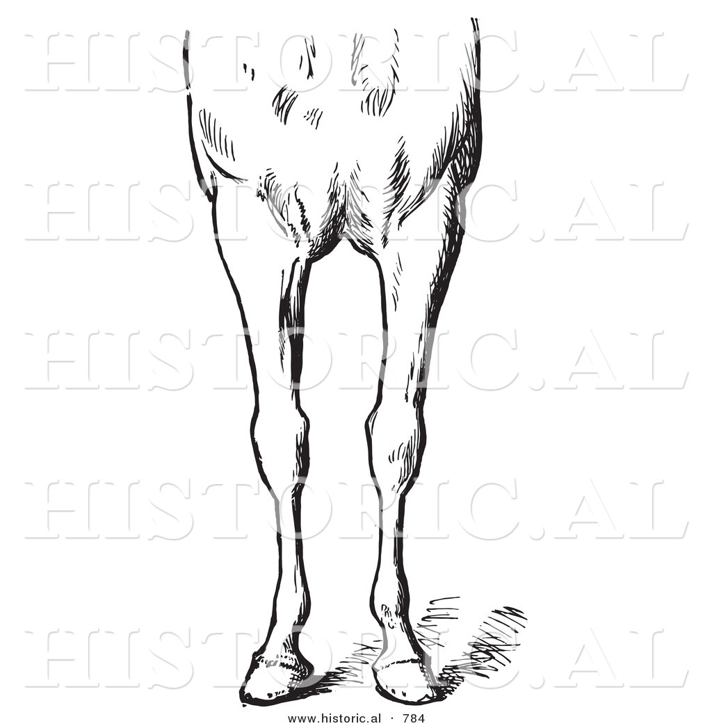 Historical Vector Illustration Of Horse Anatomy Featuring Bad
