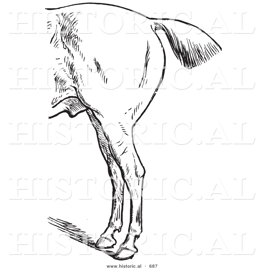 Historical Vector Illustration of Horse Anatomy Featuring Bad Hind ...