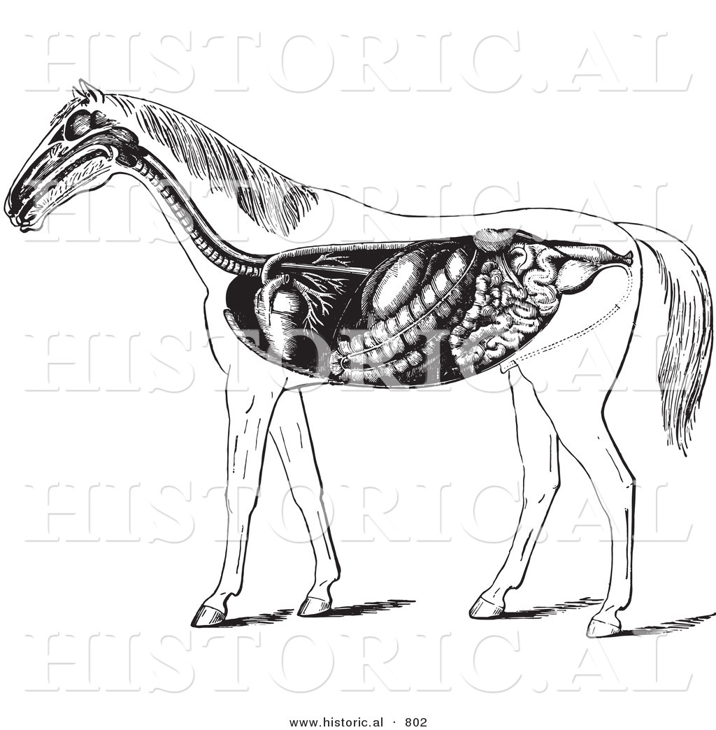Historical vector illustration of horse anatomy featuring the historical vector illustration of horse anatomy featuring the digestive system black and white version ccuart Images