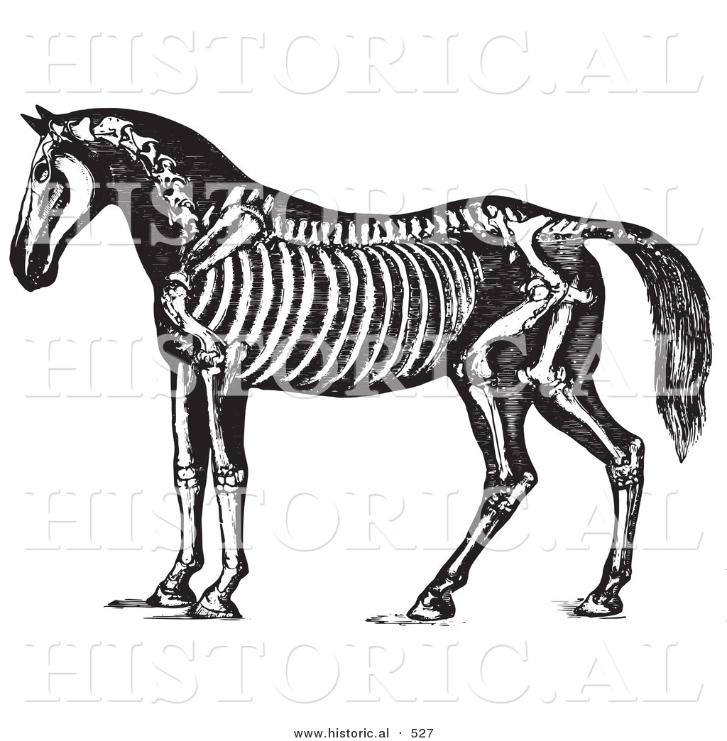 Historical Vector Illustration of Horse Anatomy Featuring the ...