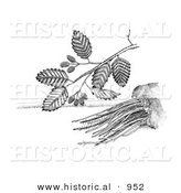 Historical Illustration of a Adler Sadleria Plant - Black and White Version by Al