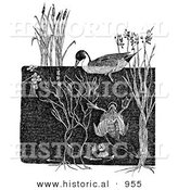 Historical Illustration of a Dabbler and Diving Ducks - Black and White Grayscale Version by Al