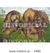 Historical Illustration of a Family of Lions in Grass with Babies by Al