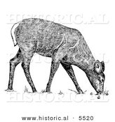Historical Illustration of a White-tailed Deer Grazing - Black and White Version by Al