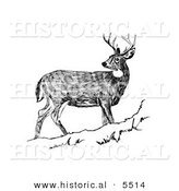 Historical Illustration of a White-tailed Deer Looking Back While Standing Still on a Hill - Black and White Version by Al
