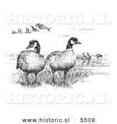 Historical Illustration of Aleutian Canada Geese (Branta Canadensis Leucognaphalus) - Black and White Version by Al