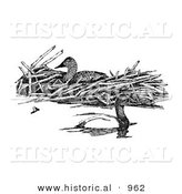 Historical Illustration of Canvasback Ducks - Black and White Version by Al