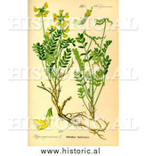 December 30th, 2013: Historical Illustration of Horseshoe Vetch Plant (Hippocrepis Comosa) by Al