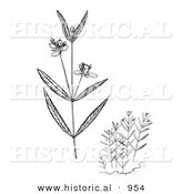 Historical Illustration of Water Willow Plants Flowering - Black and White Grayscale Version by Al