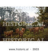 Historical Photochrom of a Group of Dairy Cows in a Pasture in England by Al