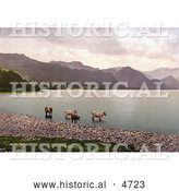 Historical Photochrom of Cattle Wading in the Water, Derwent Water, Lake District, England by Al