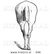 Historical Vector Illustration of a Horse's Anatomy Featuring Bad Hind Quarters from the Rear - Black and White Version by Al