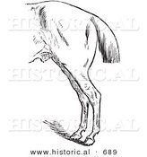 Historical Vector Illustration of a Horse's Anatomy with Bad Hind Quarters - Black and White Version by Al