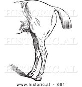 Historical Vector Illustration of a Horse's Anatomy with Bad Hind Quarters by Al