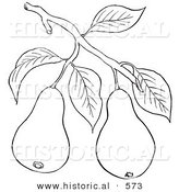 Historical Vector Illustration of a Pear Tree Branch with 2 Fruits - Outlined Version by Al