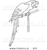 Historical Vector Illustration of a Perched Pet Parrot - Outlined Version by Al