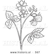 Historical Vector Illustration of a Strawberry Plant with Flower Blossoms - Outlined Version by Al