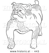 Historical Vector Illustration of a Strong Bulldog Standing and Staring - Outlined Version by Al