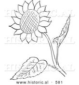 Historical Vector Illustration of a Sunflower with Seeds and Leaves - Outlined Version by Al