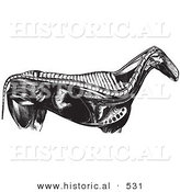 Historical Vector Illustration of an Engraved Horse Anatomy Featuring the Internal Bones and Organs - Black and White Version by Al