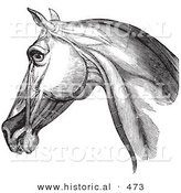 Historical Vector Illustration of an Engraved Horse Head and Neck Muscles from the Side - Black and White Version by Al