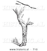 Historical Vector Illustration of Horse Anatomy Featuring Bad Conformation of Fore Quarters 2 - Black and White Version by Al
