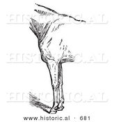 Historical Vector Illustration of Horse Anatomy Featuring Bad Conformation of Fore Quarters - Black and White Version by Al