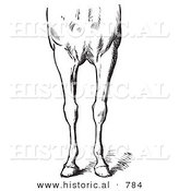 Historical Vector Illustration of Horse Anatomy Featuring Bad Conformations of the Fore Quarters 2 - Black and White Version by Al