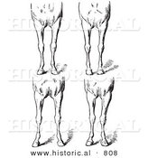 Historical Vector Illustration of Horse Anatomy Featuring Bad Conformations of the Fore Quarters - Black and White Version by Al