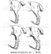 Historical Vector Illustration of Horse Anatomy Featuring Bad Hind Quarters 5 - Black and White Version by Al