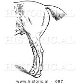 Historical Vector Illustration of Horse Anatomy Featuring Bad Hind Quarters from the Left Side - Black and White Version by Al