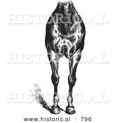 Historical Vector Illustration of Horse Anatomy Featuring Good Breast and Limbs - Black and White Version by Al